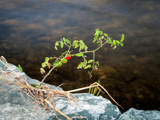 Tomato plant grows between bricks against all bad circumstances
