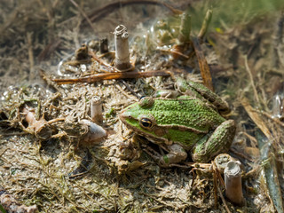 Frog in the mud on a lake