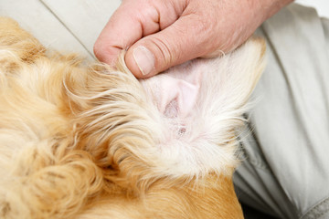 man makes ears control at the  dog