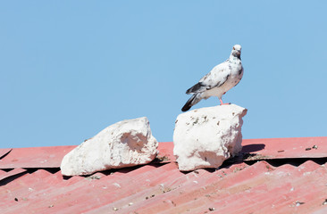 White pigeon sitting on a roof