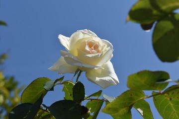 Rosa blanca aislada en el jardín, en un fondo natural de cielo azul.