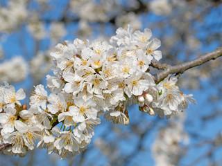 Blühende Süßkirschen, Prunus avium