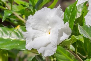 fleur blanche de camélia