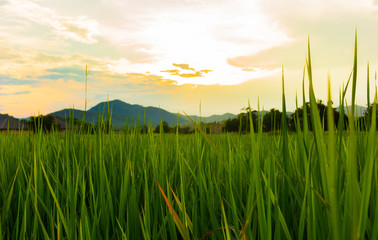 ricefield and sunset