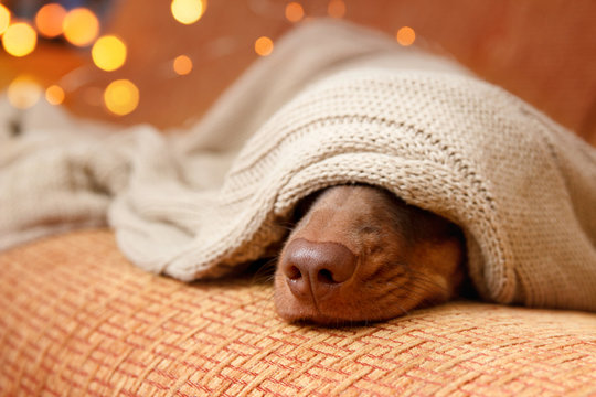 Dog sleeps under the blanket near christmas light. Close up. Winter concept