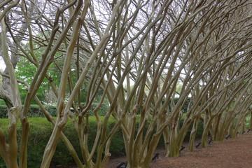 Crape Myrtle Trees in Line on Dallas Arboretum and Botanical Garden