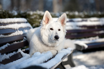 white shepherd dog posing on a bench in winter