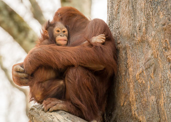 Mother holding baby orangutan in a zoo