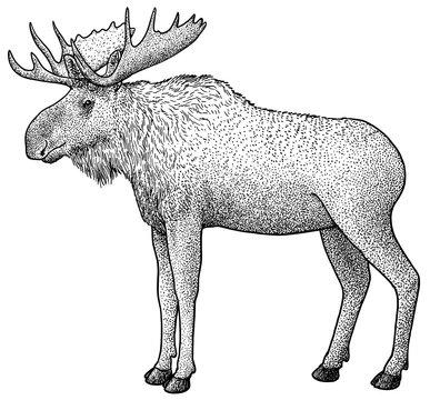 Moose illustration, drawing, engraving, ink, line art, vector