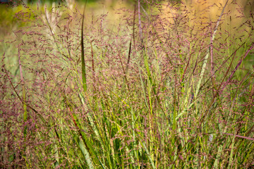 Panicum virgatum 'Squaw', - Panicum, Staudes des Jahres 2020