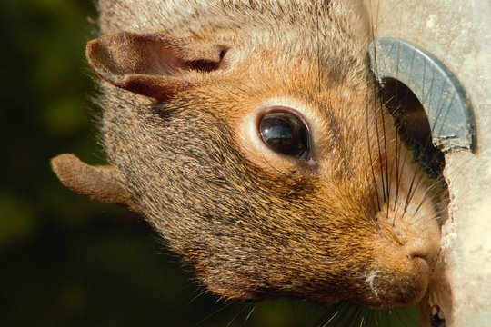 Close up of a female Eastern Grey Squirrel (sciurus carolinensis) feeding from a damaged bird feeder