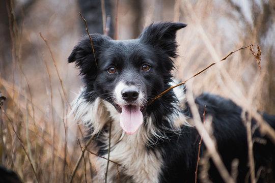 Shepherd dog breed Border Collie on a walk