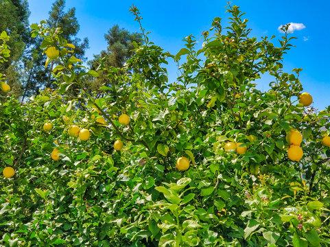 Ripe yellow lemons on a tree. Citrus Harvest in Cyprus