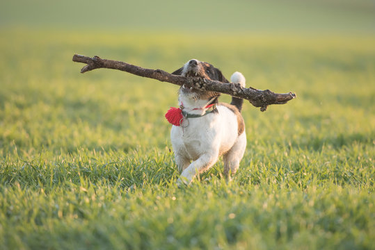 Little cute  happy size madness Jack Russell Terrier dog carries a large branch on a green meadow