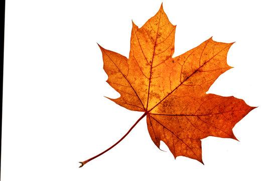 Herbstblatt Freisteller