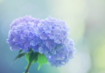 Blue hydrangea flowers close up