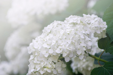 Blooming white hydrangea plants in full bloom