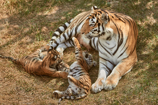 Mom tigress with two babies. Two little playing tiger cubs. Tiger family. Wild animals in nature