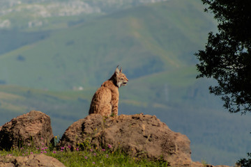 a boreal lynx resting on top of a rock