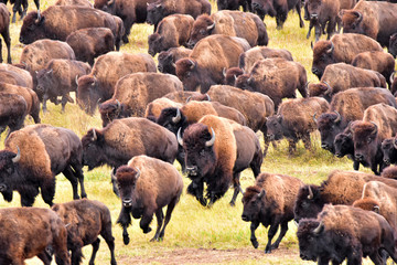 Deurstickers Bison Bufflo (American Bison) round-up, Black Hills, SD - close