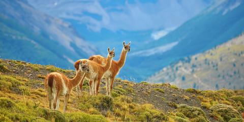 Guanacoes in Torres del Paine national park