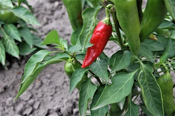 Canvas Prints Hot chili peppers red pepper on tree