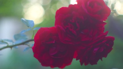 Fotoväggar - Red rose flower blooming. Beautiful roses growing in a garden. Slow motion 4K UHD video footage. 3840X2160