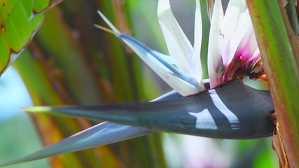 Fotoväggar - Beautiful Strelitzia Nikolai flowers blooming. Giant white bird of paradise plant with flowers. Wold banana. Close-up. Garden, Gardening concept, landscaping design. 4K UHD slow motion video