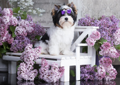 dog Biewer Yorkshire Terrier  and flowers