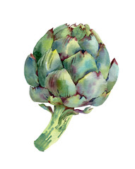 Green artichoke. Hand drawn watercolor botanical illustration. Isolated on white background