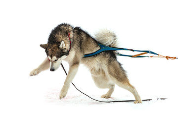 malamute in the winter competitions Weight pulling