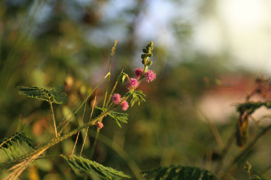 Green tree with scientific name: Acacia Farnesiana has beautiful pink flowers.