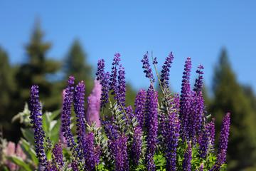 Blühende Lupinen in Neuseeland Fotoväggar