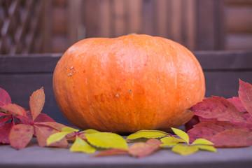 Printed kitchen splashbacks Autumn Pumpkin. Harvesting pumpkins in the autumn garden.