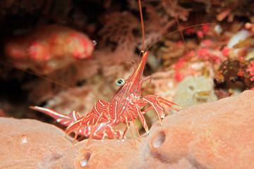 Camel Shrimp on Reef