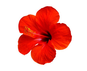Stores à enrouleur Fleuriste red hibiscus flower isolated on white background