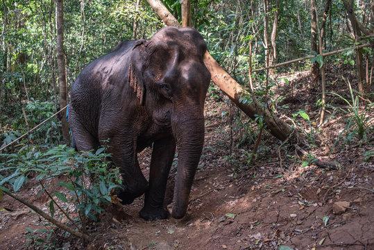 Wild elephants in Mondolkiri province, Cambodia