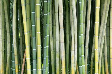 Frischer grüner Bambus
