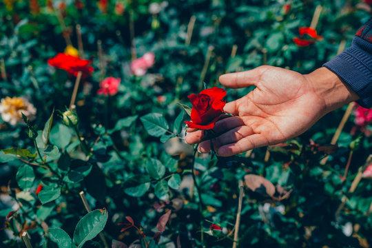 Holding red rose flower on the garden.