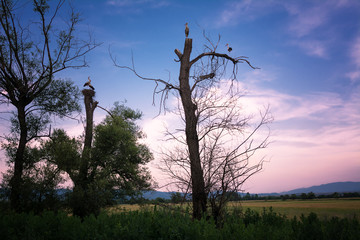 Some storks on bare trees at sunset