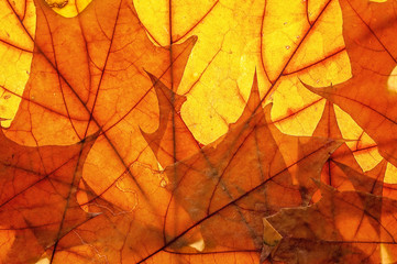 Autumn leaves on clearance. Studio photo, top view large. Colorful background texture banner. Close-up image