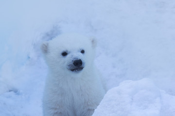 Animals theme. Polar bear cub close-up.