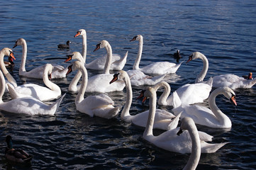 a flock of white swans on lake Zurich