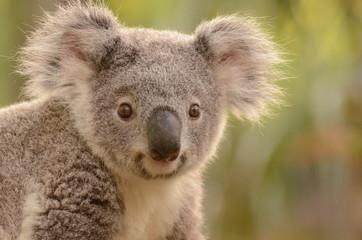 Photo Stands Koala コアラ
