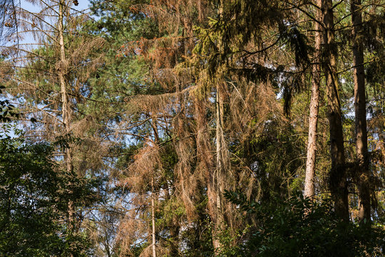 Gesunder und toter Wald in Deutschland