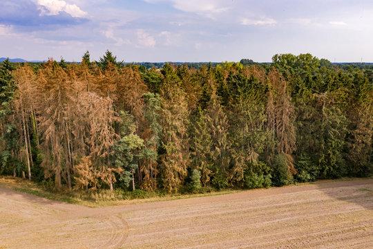 Waldstück mit sterbenden Bäumen im Harz