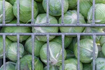 Freshly harvested cabbage heads in container