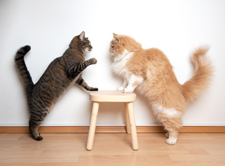 In de dag Kat two cats armwrestling fight battle. side view of two cats facing each other on a wooden stool in front of white wall. one cat is raising it's paw