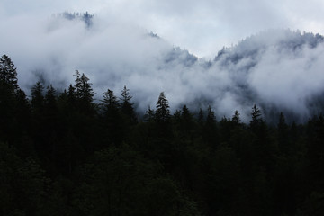 dark forest with fog in nothern europe.