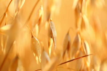 Tuinposter Cultuur oat field